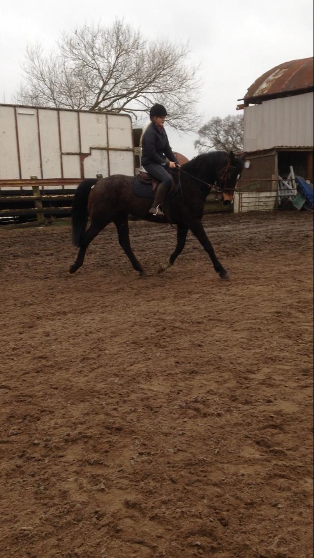 Warmblood X Mare Purdy Sold Fir Tree Farm Equestrian Centre