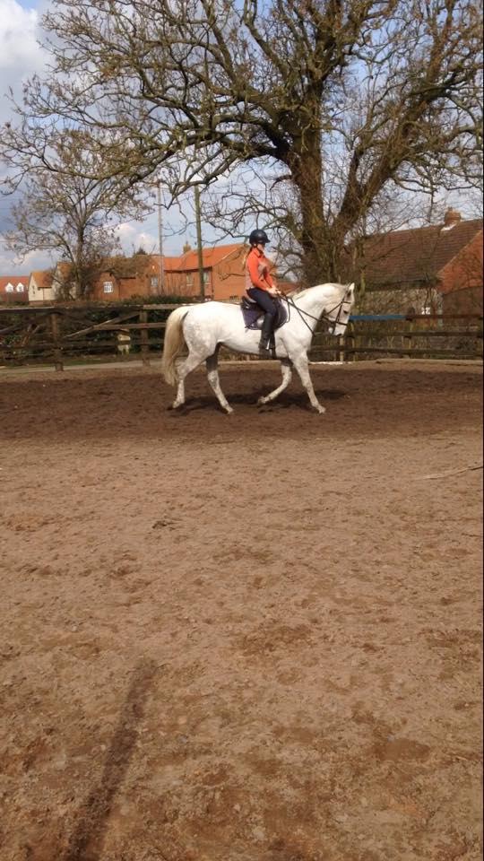 Irish Sports Horse For Sale Sold Fir Tree Farm